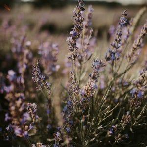 Mariage dans la lavande de Provence
